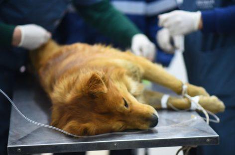 Bajo estrictos protocolos, el Hospital Municipal de Zoonosis de Escobar retoma las esterilizaciones programadas
