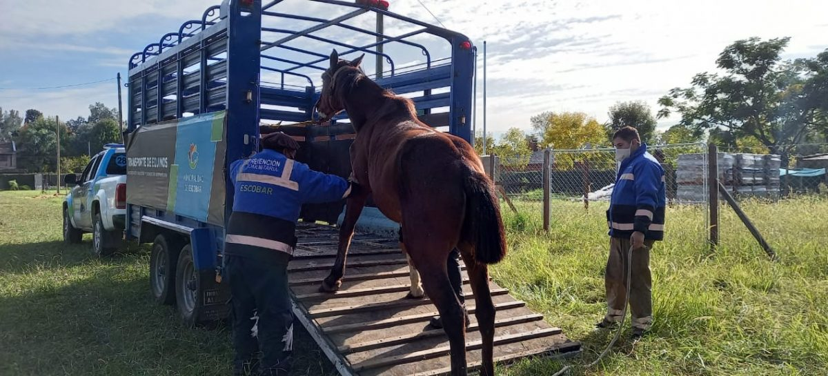 Matheu: rescatan y ponen a resguardo a seis caballos que eran sometidos a maltrato